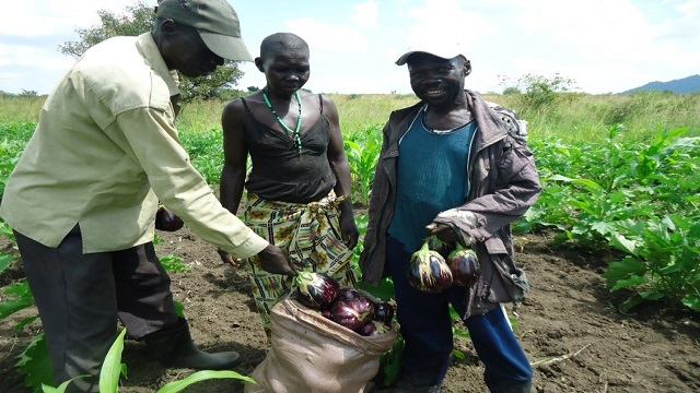 Alio atrizu Farmer Group members harvesting egg plants for sell in the local market in Olevu village, Arua District.